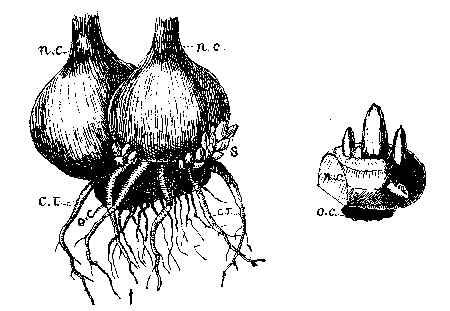 Camassia Quamash Drawing Gladiolus
