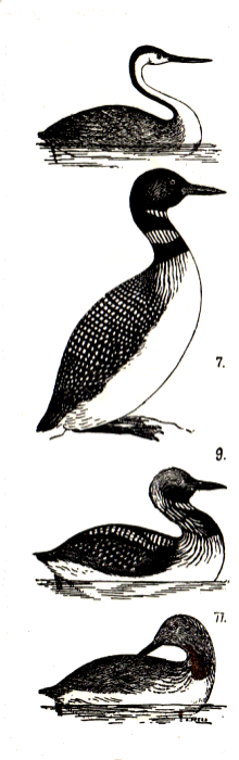 The Project Gutenberg Ebook Of Color Key To North American Birds By Frank M Chapman