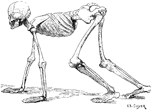 A Human Skeleton In The Attitude Of Quadruped To Give General Idea Position Bones Other Vertebrates