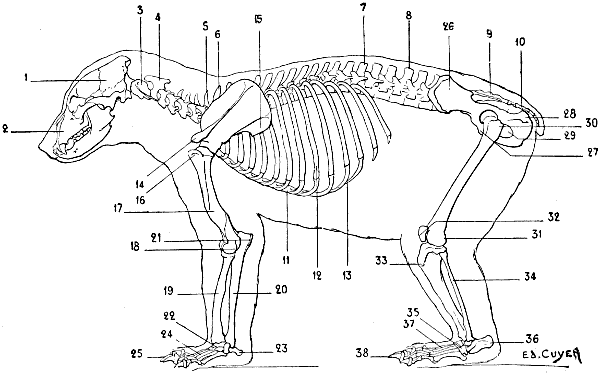 The Project Gutenberg Ebook Of The Artistic Anatomy Of Animals By