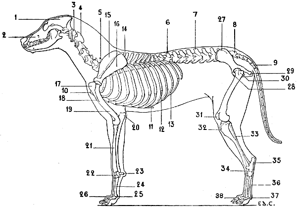 The Project Gutenberg eBook of The Artistic Anatomy of Animals, by ...