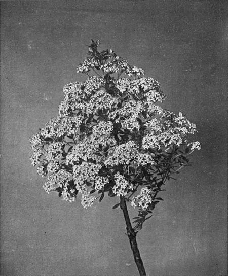 The Project Gutenberg eBook of Our Flowering Shrubs and How to Know Them