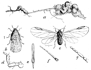 The project gutenberg ebook of directions for collecting and fig 21a plant louse schizoneura lanigera a infested root b larva c winged insect dg parts of perfect insect enlarged ccuart Images
