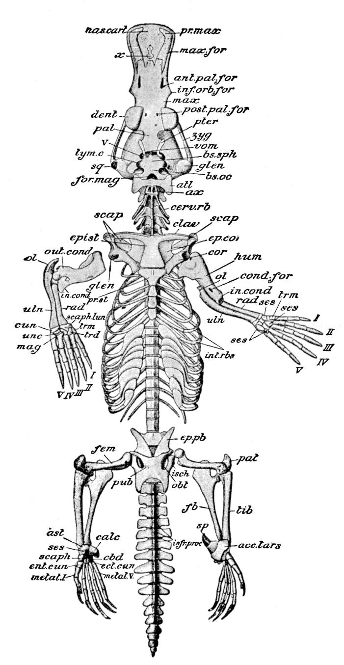 Cambridge Natural History Mammalia Seal Skeleton Diagram Likewise Sperm Whale Skull Anatomy In Addition Fig 56