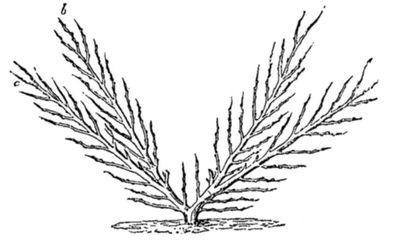 Caucase oies Cresson 70 graines Arabis caucasica pour rocaille