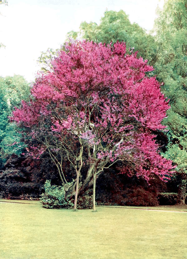 The project gutenberg ebook of trees a woodland notebook by judas tree cercis siliquastrum at twyford lodge winchester fandeluxe Gallery