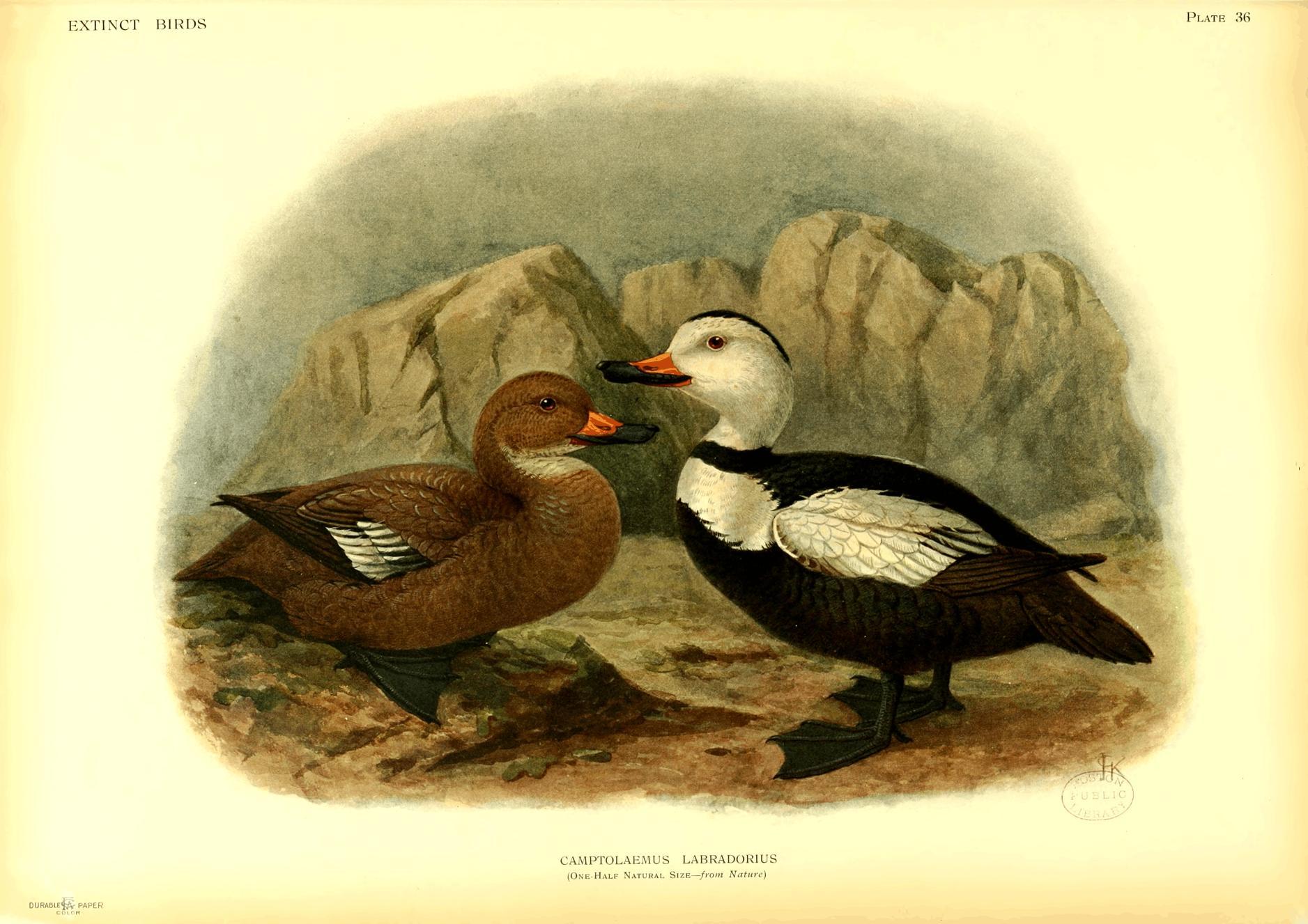 Dodo Dronte Raphus cucullatus bird antique print George Edwards 1758 art poster
