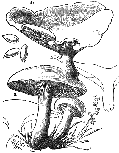 mushroom culture by w robinson f l s a project gutenberg ebook Fungi Phyla fig 41 1 agaricus orcella and 2 agaricus prunulus plum mushroom woody places in autumn colour snow white with pale rose gills diameter