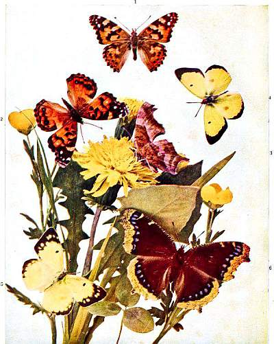 72c52d52ee5 The Project Gutenberg eBook of The Butterfly Book by W.J. Holland ...