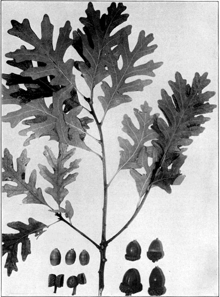 Laurel Oak  Acorns  Quercus laurifolia  Organic  30 Fresh seeds Free Shipping