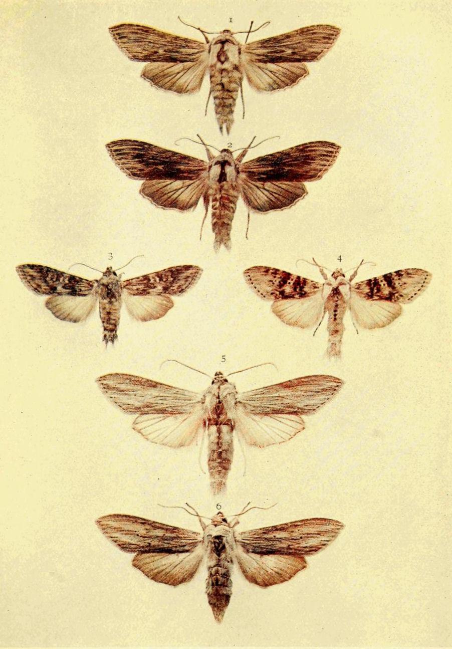 Lampropteryx suffumata Geometridae moth from Siberia pinned Russia