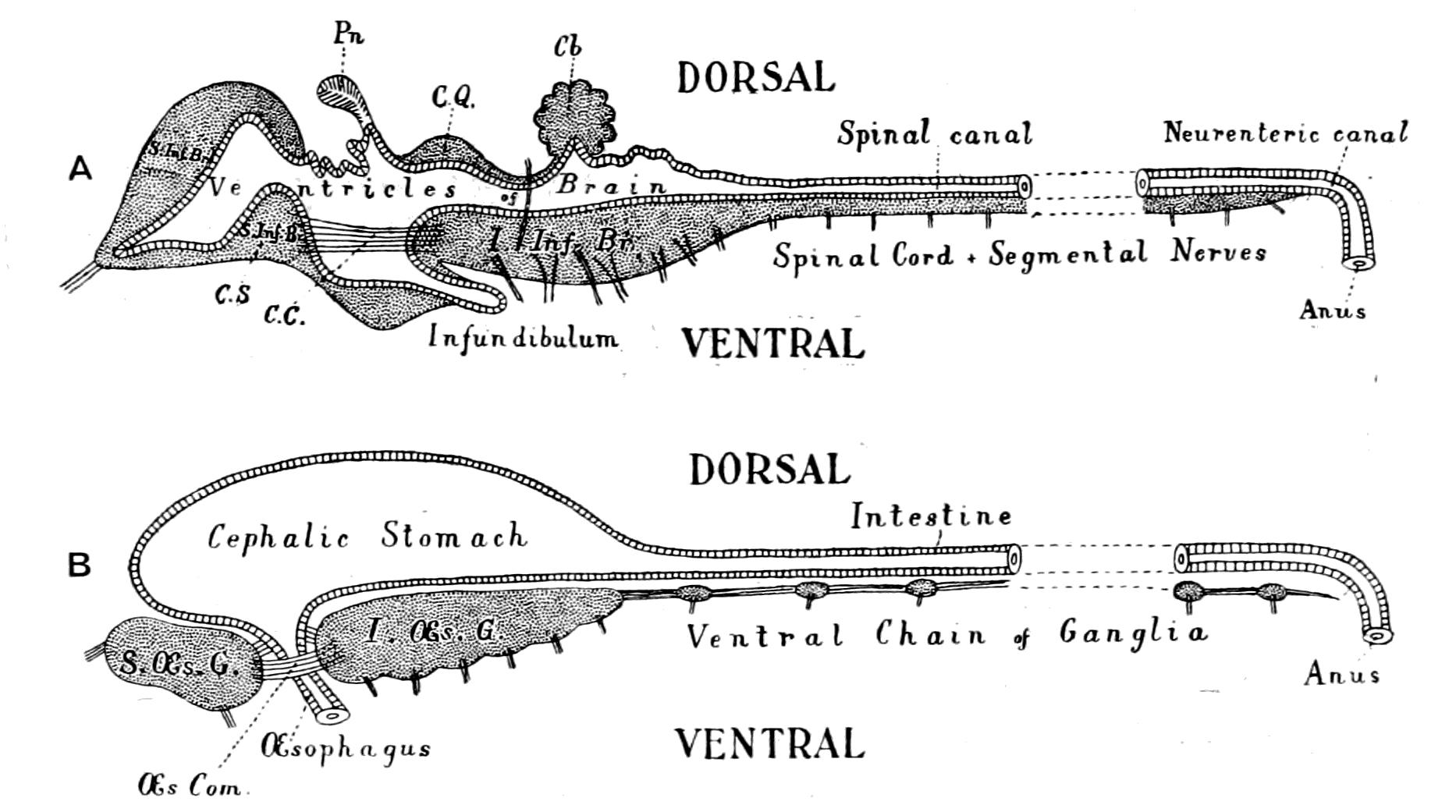 Origin Of Vertebrates