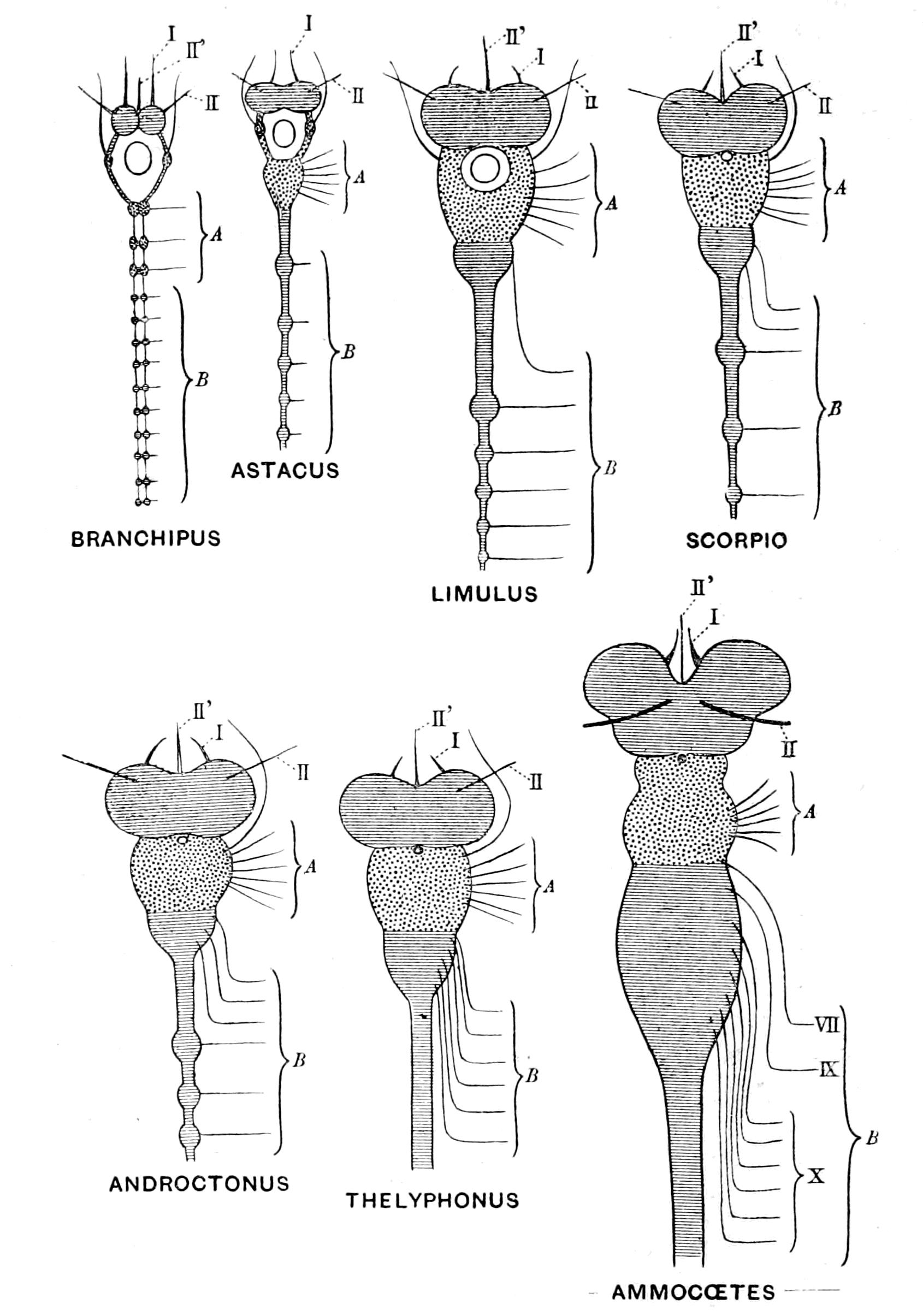 Origin of Vertebrates.
