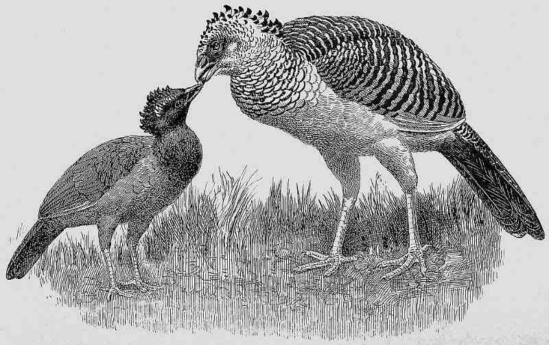 The making of species by douglas dewar and frank finn hex curassow feeding young bird with plumage of the globose curassow fandeluxe Image collections