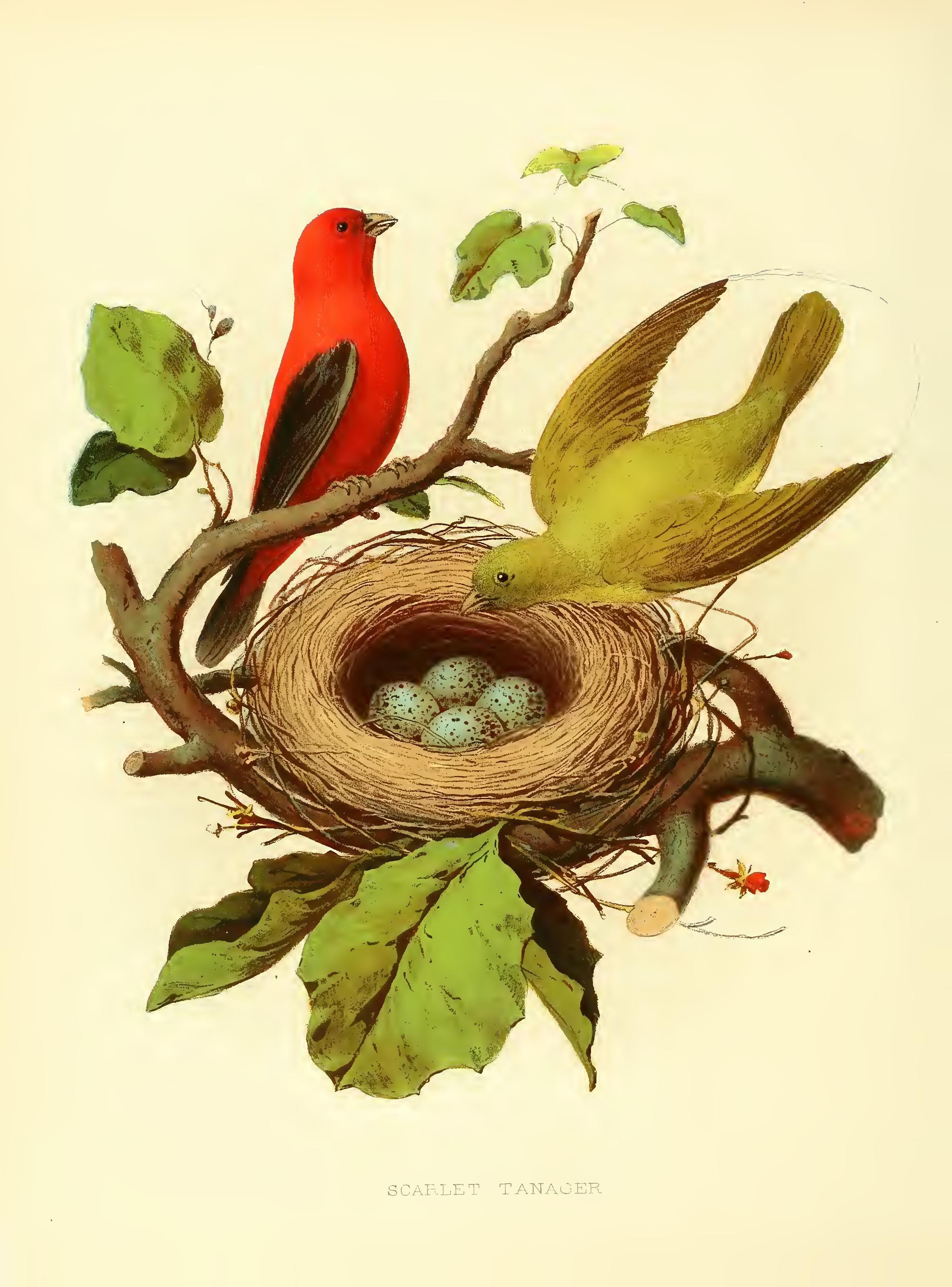 The Nests and Eggs of Birds Of the United States. dcc2cbd9f