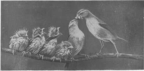 The project gutenberg ebook of bird guide land birds east of the the rockies from parrots to bluebirds preparing breakfast two adult chipping sparrows breaking worm into pieces to feed young fandeluxe Gallery