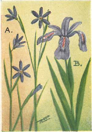 Flower guide wild flowers east of the rockies revised and with new a blue eyed grass sisyrinchium angustifolium as one would suspect from the name has grass like leaves and flowers that make one think of bright little mightylinksfo