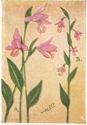Flower guide wild flowers east of the rockies revised and with new a pogonia snake mouth pogonia ophioglossoides snake mouth is delicate pure pink in color and slightly fragrant its pollen is not in stemmed masses fandeluxe Image collections
