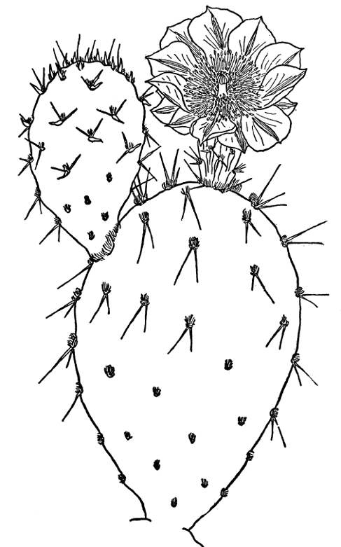 golden prickly pear opuntia covillei - Prickly Pear Cactus Coloring Page