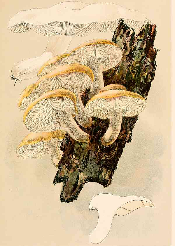 The Project Gutenberg Ebook Of Our Edible Toadstools And Mushrooms And How To Distinguish Them By W Hamilton Gibson