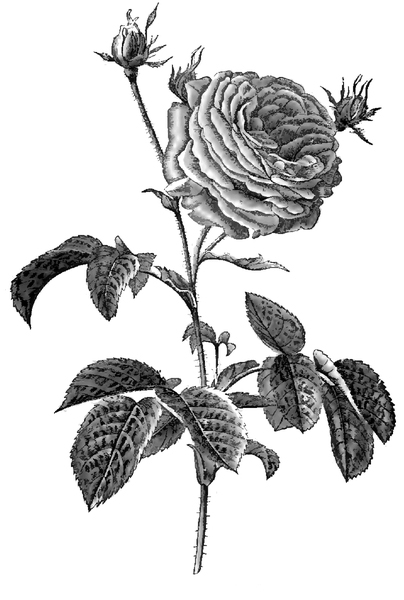 European Master Drawings French Roses and Oxeye Daisy Fine Art Print 1570