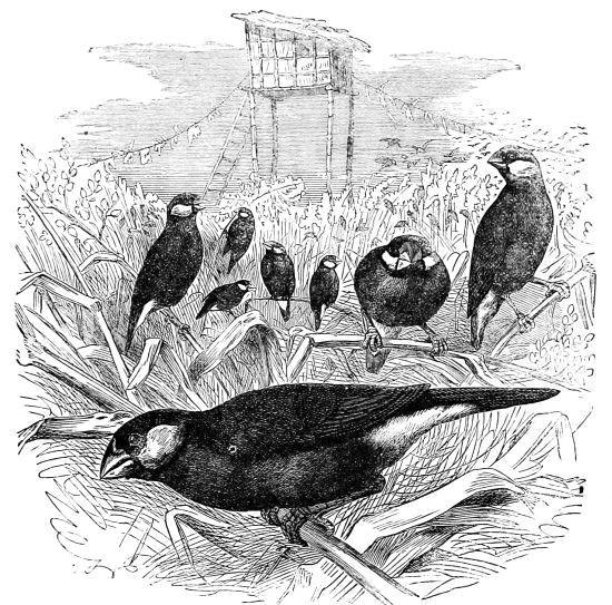 The Project Gutenberg Ebook Of Cassells Book Of Birds