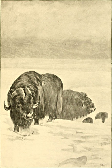musk-ox in the snow