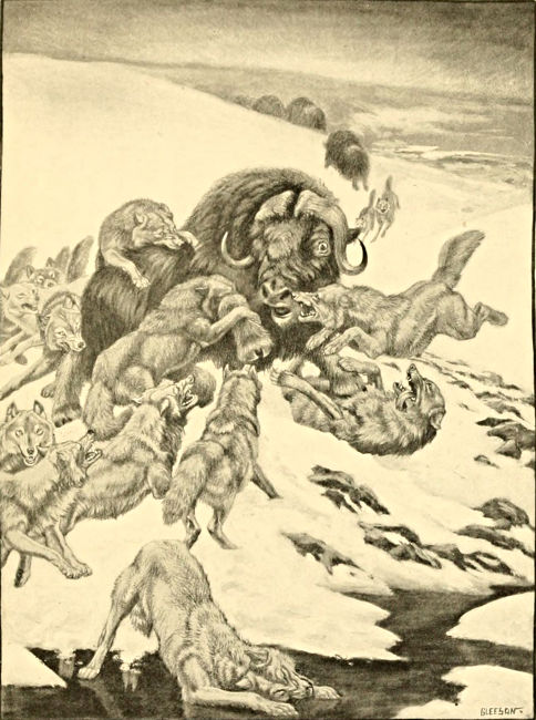 Musk-ox attacked by many wolves