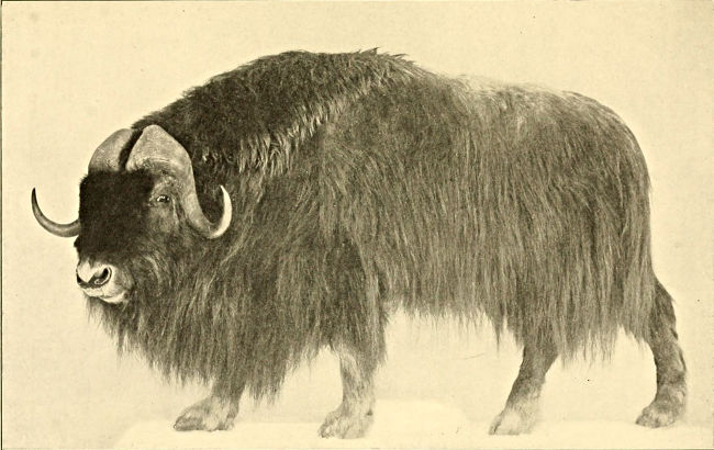 The Musk-ox