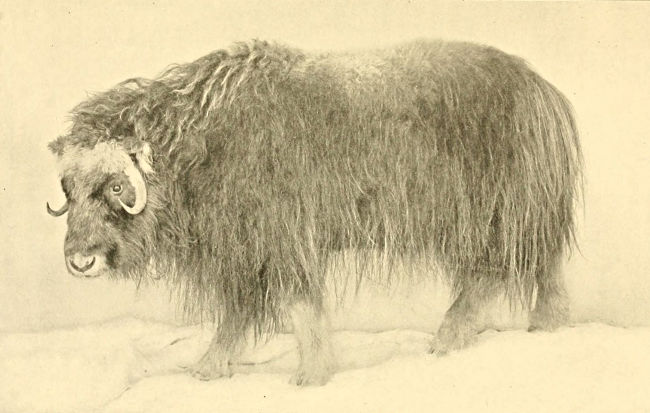 ADULT FEMALE OF THE EAST GREENLAND MUSK-OX