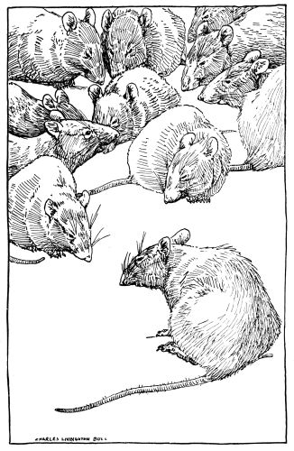 Large Group Of Rats