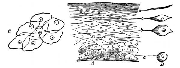 Fig 1 a a vertical section of the cuticle b the lateral view of the cells c the flat side of scales like d magnified 250 diameters