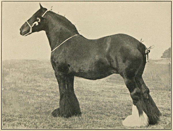 The project gutenberg ebook of the shire horse in peace and war by horse fandeluxe Gallery