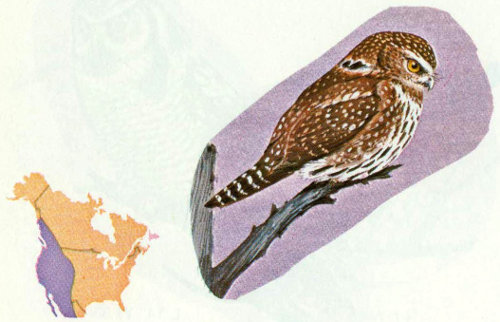Habitat The Pygmy Owl Is Found In Most Of Western Wooded Areas From Canada Into Mexico It Probably Abundant Open Coniferous Or