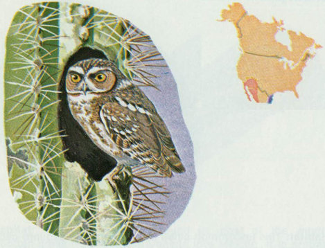 Habitat The Elf Owl Is Restricted To Southwestern United States Where It Found Primarily In Saguaro Cactus Deserts Bottomland Sycamore And