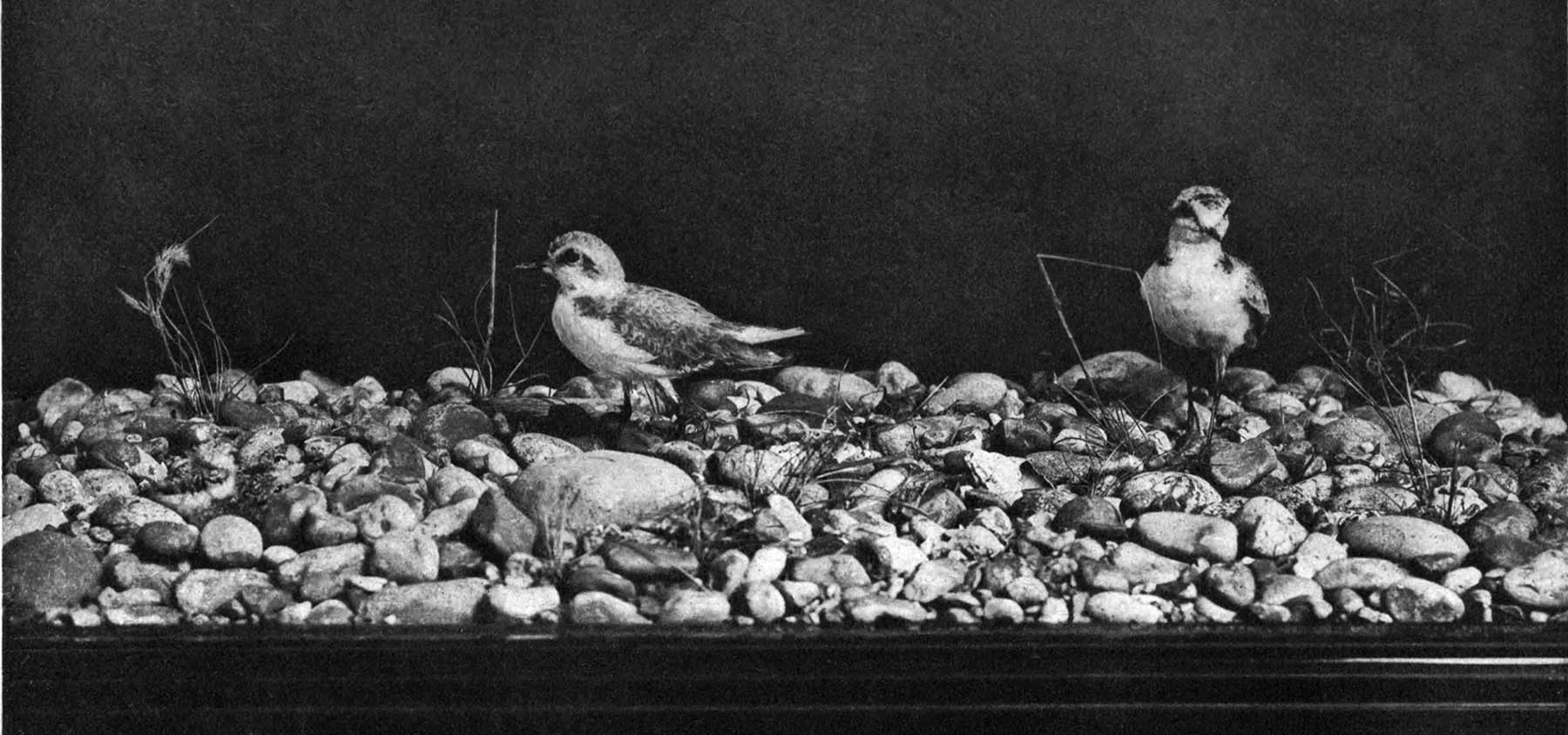 The Project Gutenberg Ebook Of Animal Life And Intelligence By C Eiger New Sweat Confident 02 Black K65917 Kentish Plover With Eggs Young