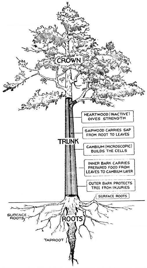 Forest trees of texas how to know them by texas forest service a how a tree grows fandeluxe Gallery
