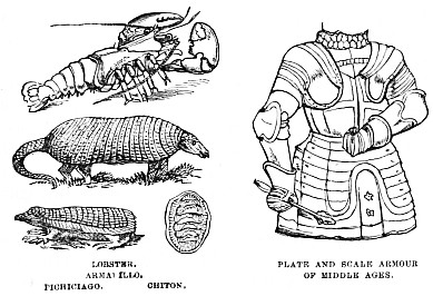 Image Unavailable LOBSTER ARMADILLO PICHICIAGO CHITON PLATE AND SCALE ARMOUR OF