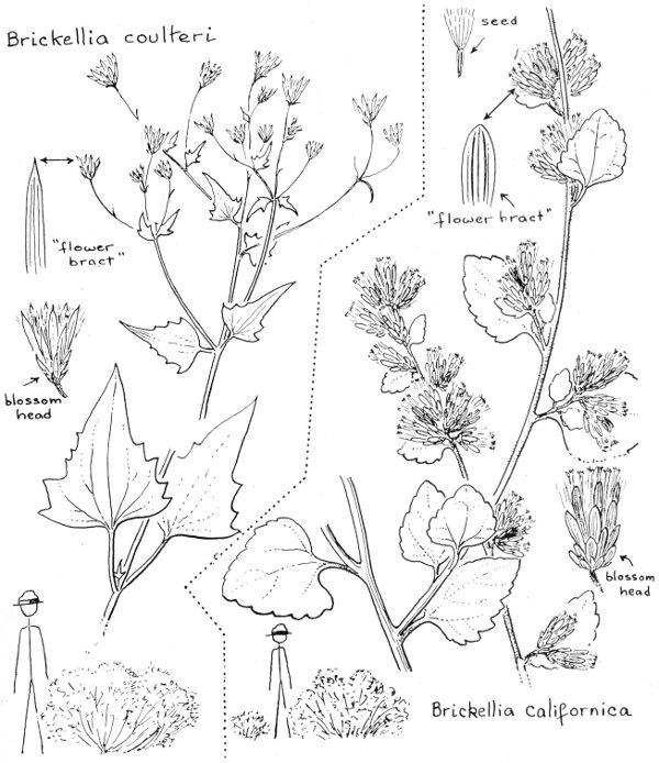 Flowers of the southwest deserts by natt n dodge a project common names brickellbush desert brickellia pachaba arizona desert brickellia coulteri yellow white september mightylinksfo
