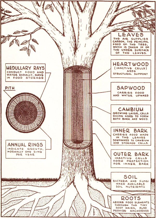 Common trees of pennsylvania by pennsylvania department of diagram showing functions of different parts of a tree courtesy of the new tree experts manual by richard r fenska ccuart Gallery