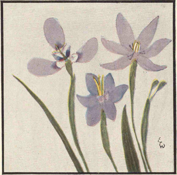 Texas flowers in natural colors by natt n dodge a project iris family iridaceae fandeluxe Images