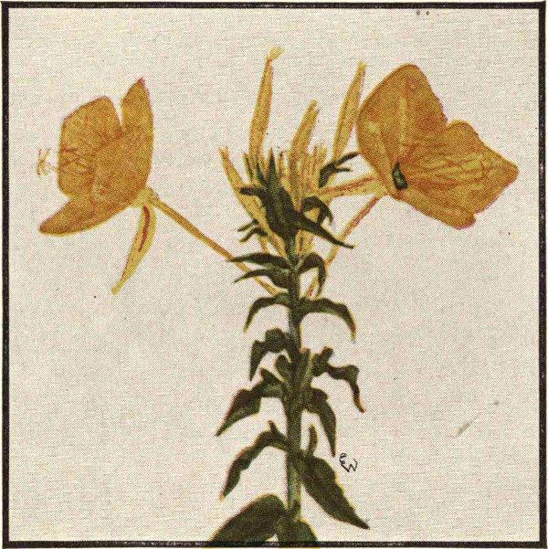 8ad72ec4488b EVENING-PRIMROSE FAMILY (Epilobiaceae)