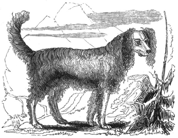 1db943eb5210fe The spaniel of St. Bernard exceeds all others of the same tribe in size and  beauty. He generally reaches two feet in height at the shoulders