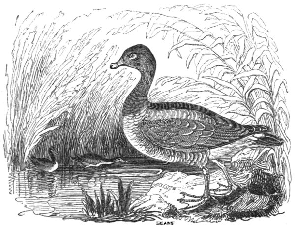 fd7ff1eb8ad This species differs very little in its general appearance from the grey  lag goose
