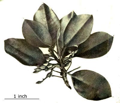 10 graines//seeds Litsea glutinosa