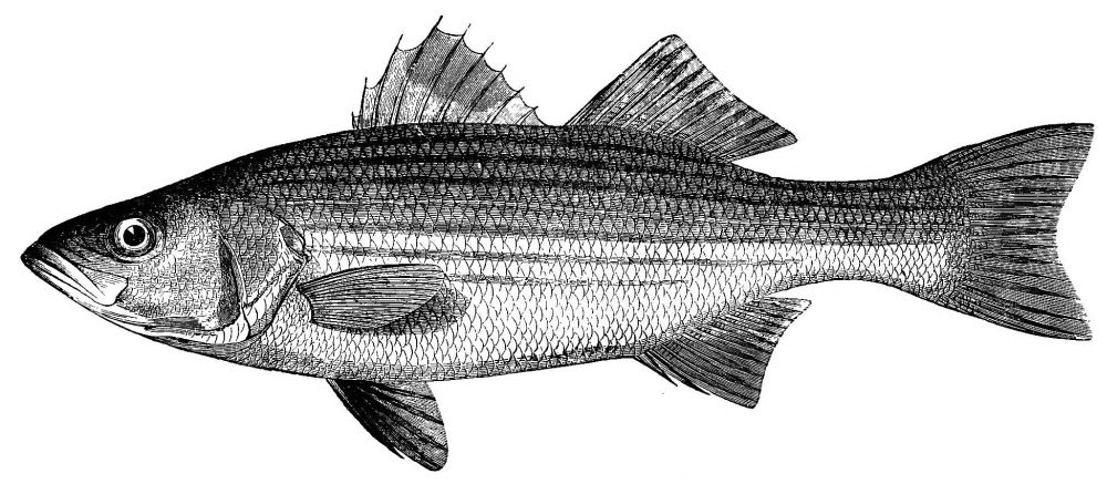 The project gutenberg ebook of game fish of the northern states and image unavailable fandeluxe Choice Image