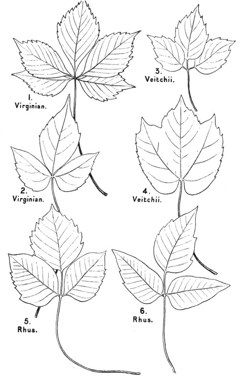 the project gutenberg ebook of science from an easy chair by e ray Kelvion Fin Fans drawings about half the natural size of the leaves of the mon quinquefoliate virginian creeper 1 and 2 of the adherent elopsis veitchii 3 and