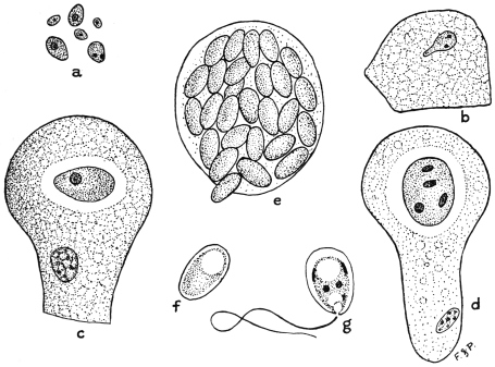The Project Gutenberg eBook of The Animal Parasites of Man