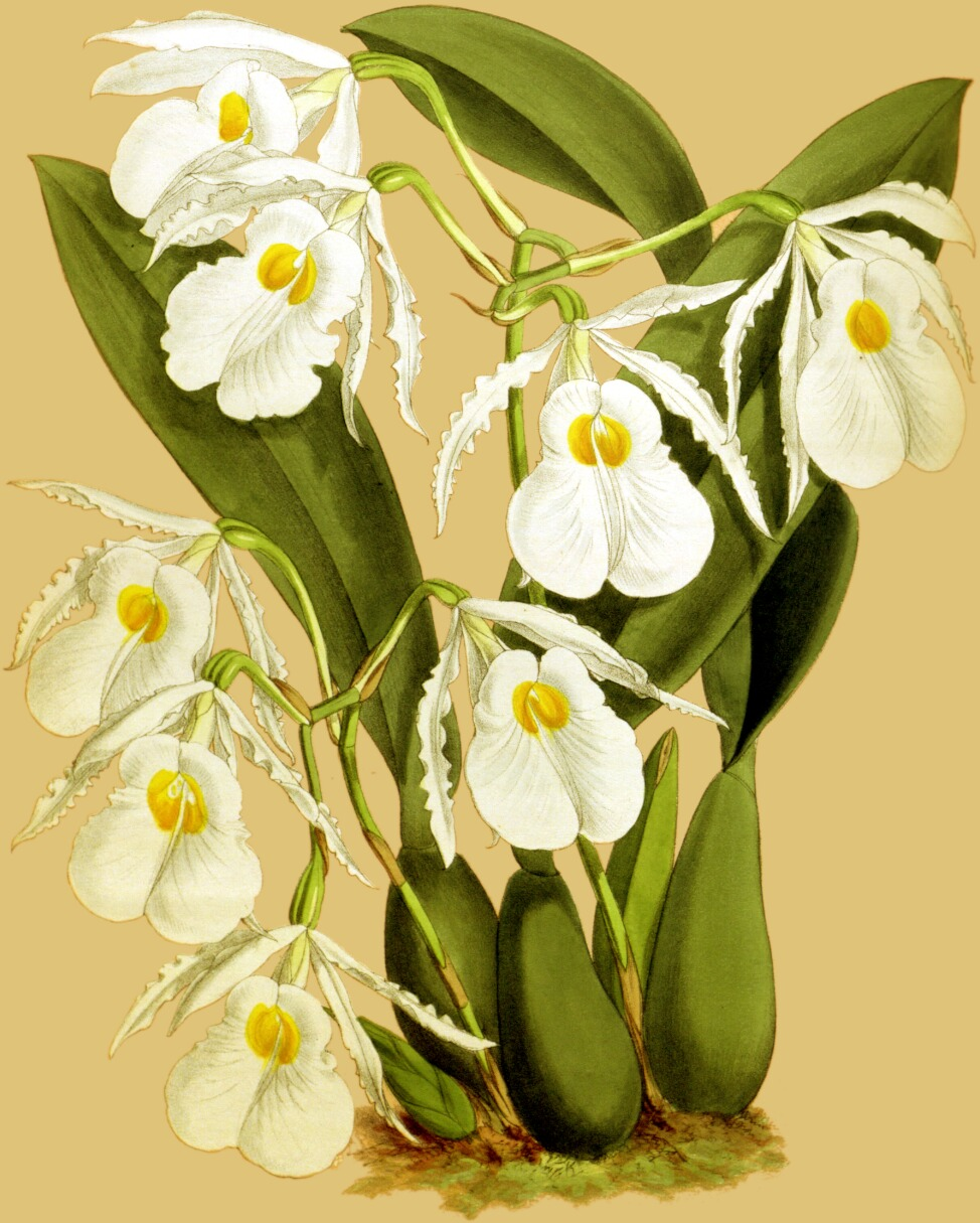 Dendrobium ´Spiders Gigant ALBA´ Selection 4N Orchidee Orchideen