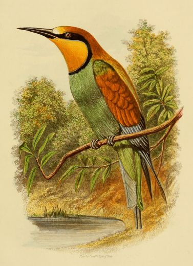 """KooKoo Birds 6/"""" Fire Plumed Bird of Paradise Color May Vary"""